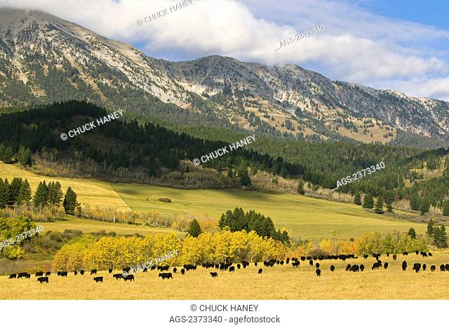 Livestock - A herd of mostly Black Angus beef cattle graze on an Autumn pasture with the Bridger Range in the background/ near Bozeman, Montana, USA