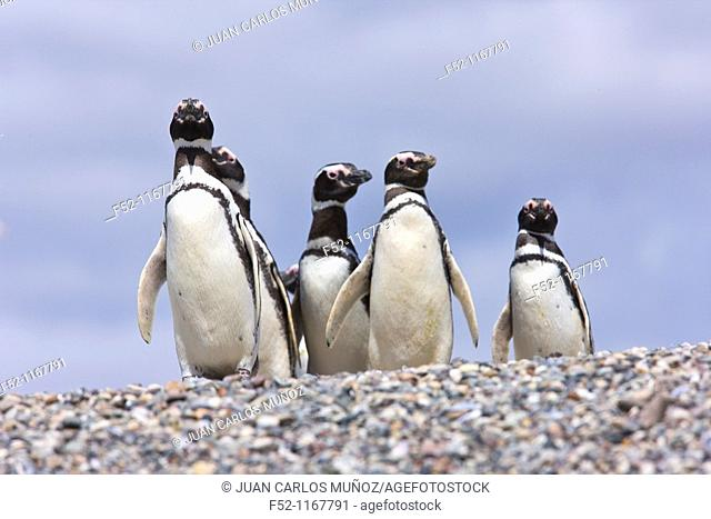 Magellanic Penguin (Spheniscus magellanicus), Patagonia, Argentina