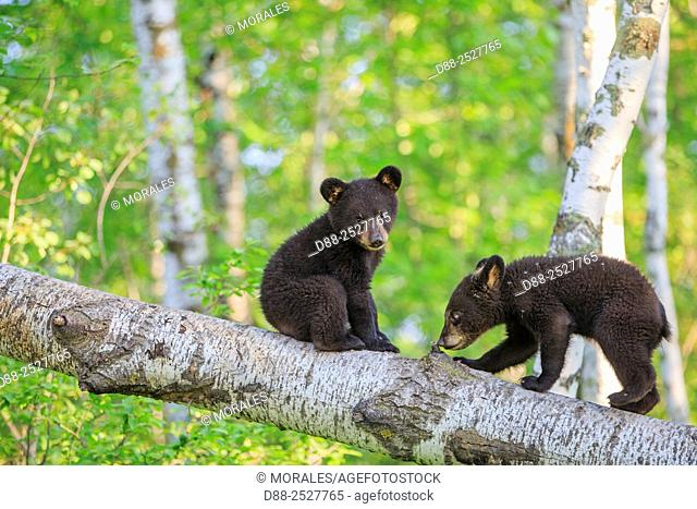 United States, Minnesota, Black bearUrsus americanus, youngs in a tree
