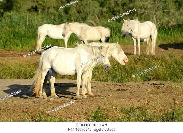 Europe, France, Languedoc- Roussillon, Camargue, white horses, grey horses, animal, horse, Saintes Maries de la Mer