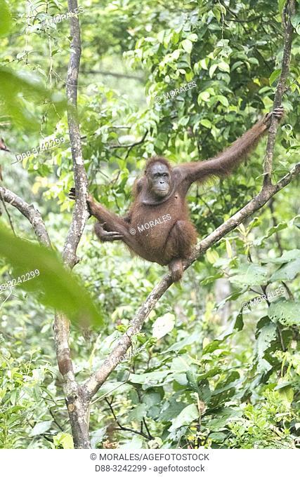 Asia, Indonesia, Borneo, Tanjung Puting National Park, Bornean orangutan (Pongo pygmaeus pygmaeus),