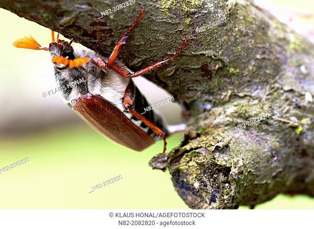 Common cockchafer or maybug (Melolontha melolontha) on tree - Bobolice, West Pomeranian/Poland