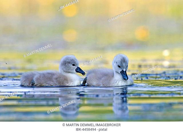 Mute swans (Cygnus olor), cygnets in the water, Saxony-Anhalt, Germany