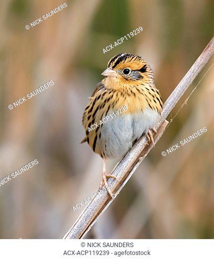 LeConte's Sparrow, Toxostoma lecontei, perches in the grass in a Saskatoon marsh, in Saskatchewan, Canada