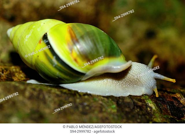 Snail (Mollusca) on a branch in Kep National Park, Cambodia