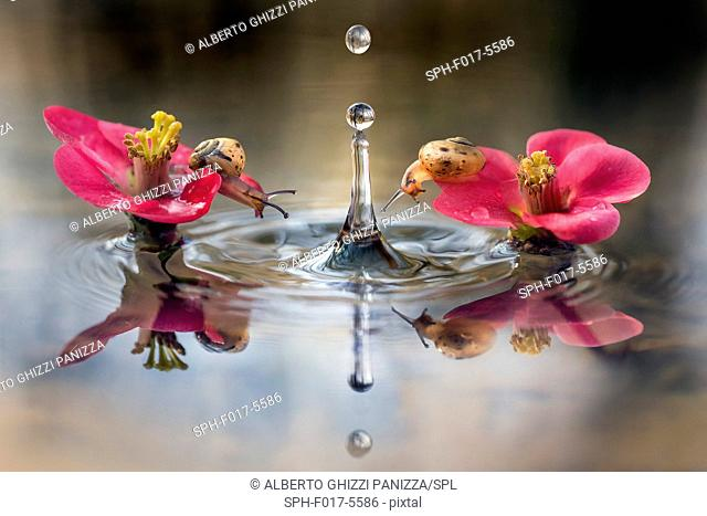 Two small snails on pink flowers in the water with falling droplet