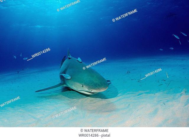 Lemon Shark, Negaprion brevirostris, Atlantic, Caribbean Sea, Bahamas