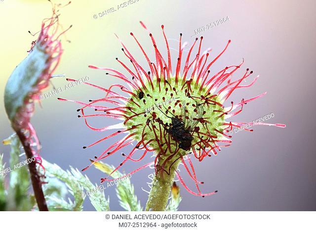 Drosera rotundifolia, common sundew. Cebollera Natural Park, La Rioja, Spain, Europe