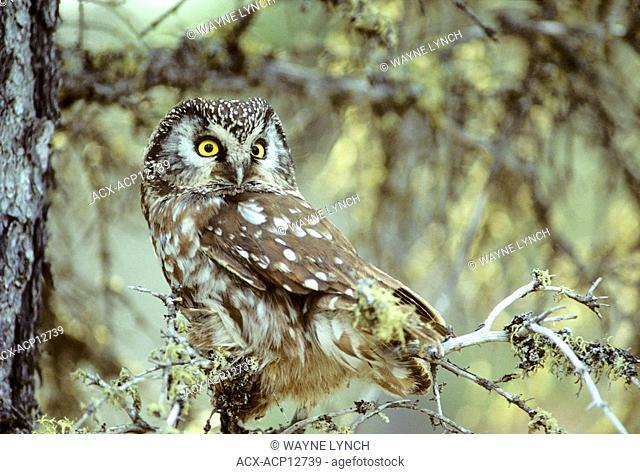 Adult boreal owl Aegolius funereus roosting near its nesting cavity, northern Manitoba, Canada