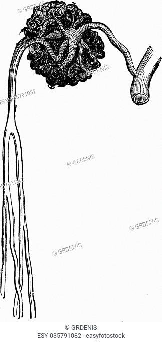 Malpighian body, vintage engraving. Old engraved illustration of Malpighian body structure with its functioning parts and their names