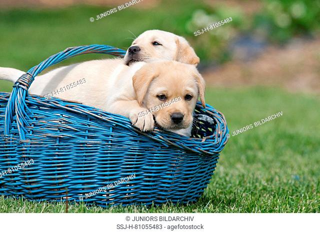 Labrador Retriever. Yellow puppies (8 weeks old) in a blue basket in a garden. Germany