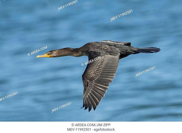 Double-crested Cormorant - Phalacrocorax auritUS - is a member of the cormorant family of sea, birds, bird - In flight in summer at Cape Cod National Seashore...
