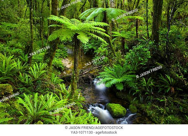New Zealand, Southland, Tuatapere Hump Ridge Track  Small stream running through lush temperate rain forest encountered on the Tuatapere Hump Ridge Track