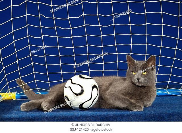 Carthusian cat with ball - lying in goal