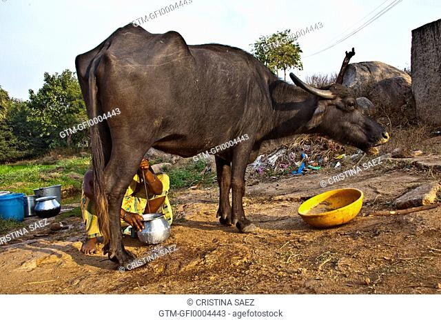 Indian Woman in Saree Milking Buffalo