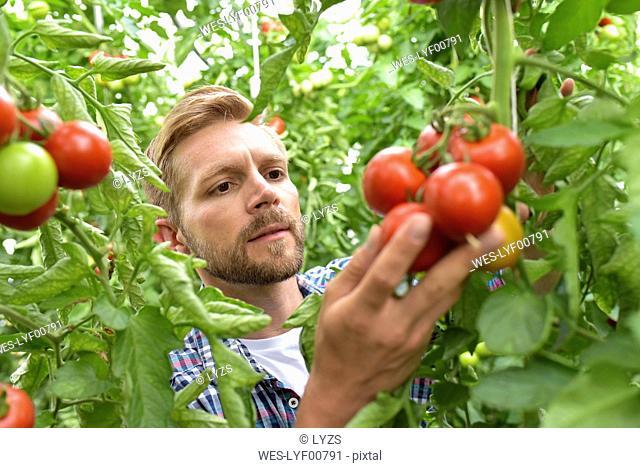 Portrait of gardener examining tomatoes in greenhouse
