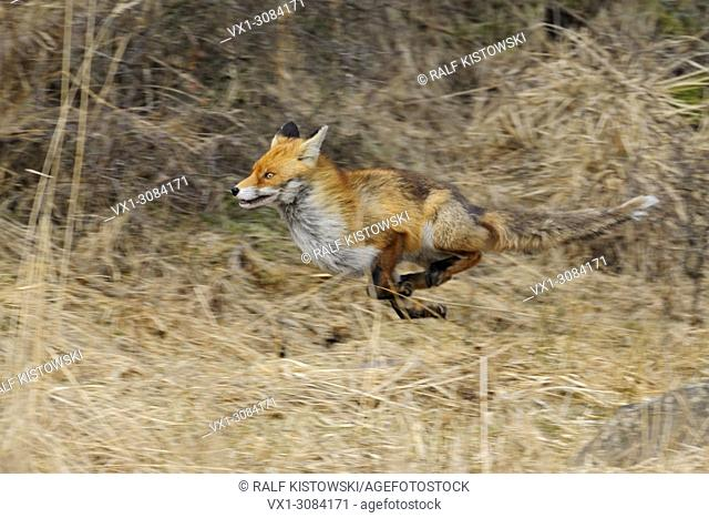 Red Fox ( Vulpes vulpes ) on the run along the edge of a forest, through reed grass, fleeing animal, in motion, panning technique, wildlife, Europe