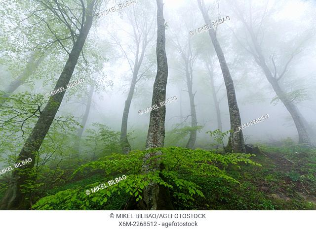 Beechwood in the mist. Urbasa mountain range. Navarre, Spain, Europe