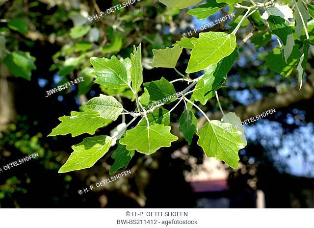white poplar, silver-leaved poplar, abele (Populus alba), twig with leaves, Germany