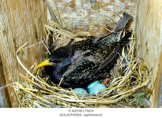 Incubating European starling Sturnus vulgaris, Okanagan Valley, southern Britsih Columbia, Canada