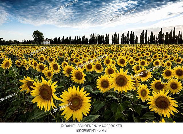 Sunflower field and cypress trees, near Piombino, Province of Livorno, Tuscany, Italy