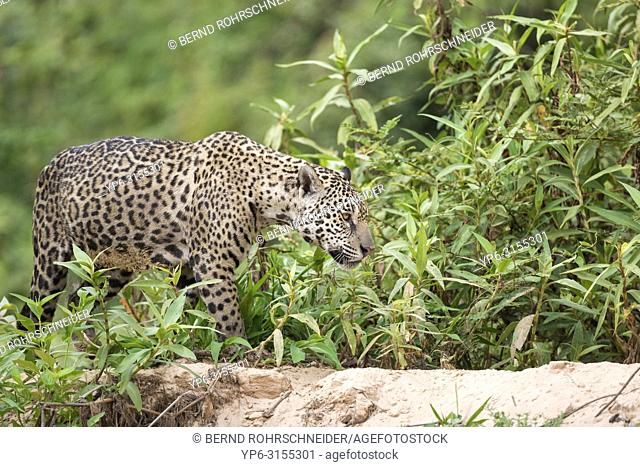 Jaguar (Panthera onca), adult walking on riverbank, Pantanal, Mato Grosso, Brazil