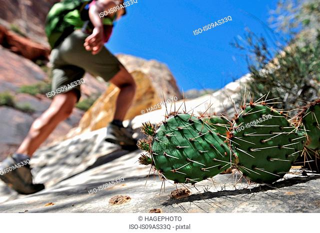 Low angle view of cacti and hiker, focus on foreground