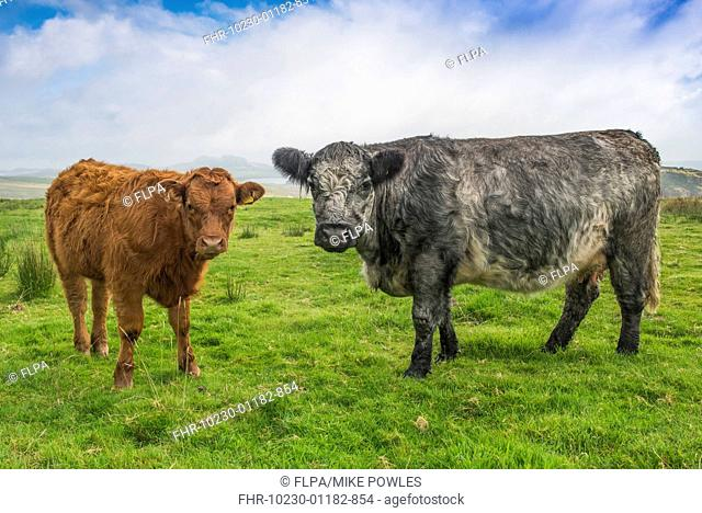 Domestic Cattle, Blue Grey cow and calf, standing on moorland, near Hadrian's Wall, Northumberland N.P., Northumberland, England, October