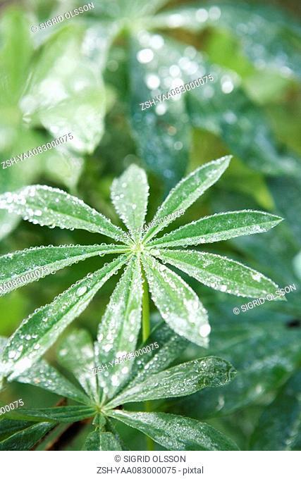 Dew covered cassava leaves