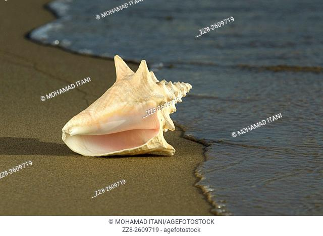 Adult Queen Conch shell Strombus gigas