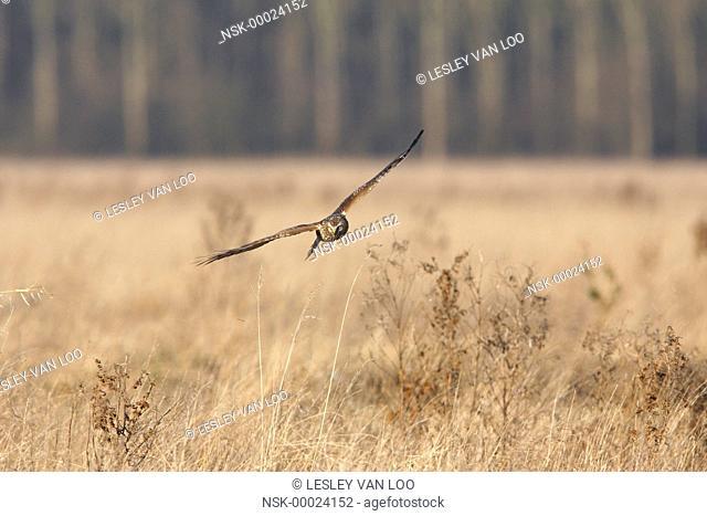 Hen Harrier (Circus cyaneus) flying, The netherlands, Noord Holland