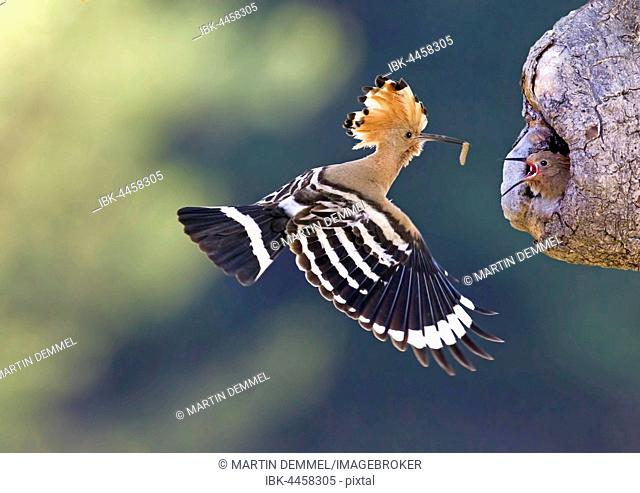 Hoopoe (Upupa epops), adult with prey, approaching nesting site with baby, Saxony-Anhalt, Germany