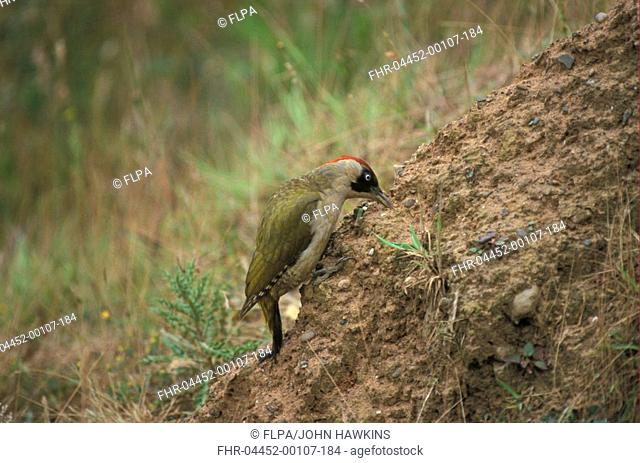Green Woodpecker Picus viridis Digging for ants S