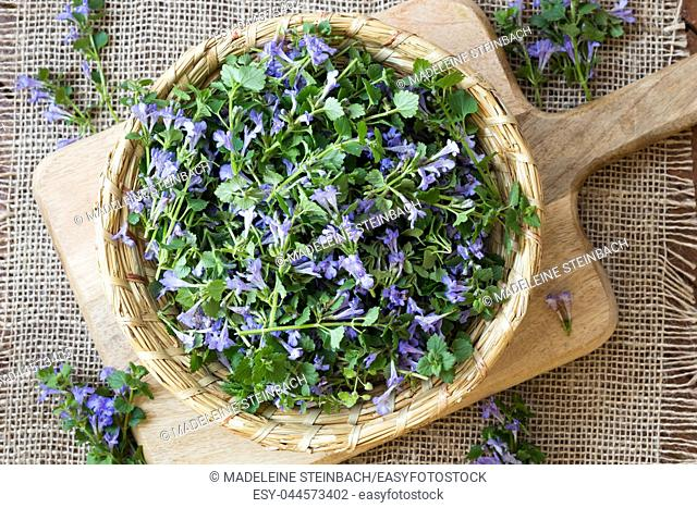Blooming ground-ivy in a wicker basket, top view