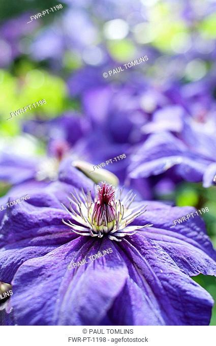 Clematis, Clematis happy birthday 'zohapbi', Close up showing stemen