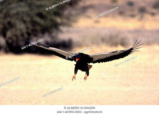 Bateleur, South Africa