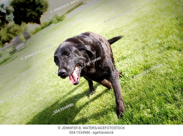 A senior black Labrador Retriever dog walking in the lawn outdoors