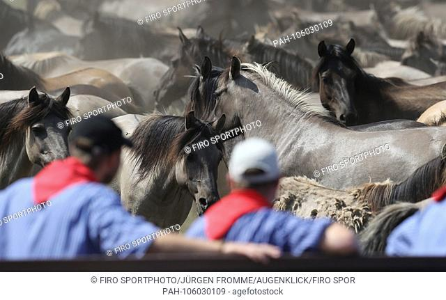 firo animals Dulmen Merfelder Bruch Wildpferdefang 26.05.2018 This year, 32 year-old stallions were caught. In order to preserve the wild horses