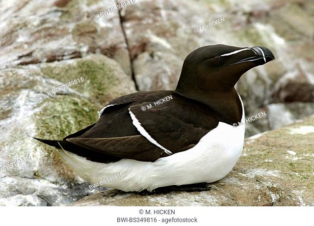 razorbill (Alca torda), sitting on a rock, United Kingdom, England, Northumberland, Farne Islands