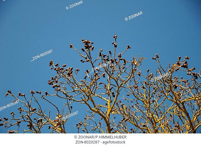 Juglans regia, Walnuss, Walnut, fruchtend