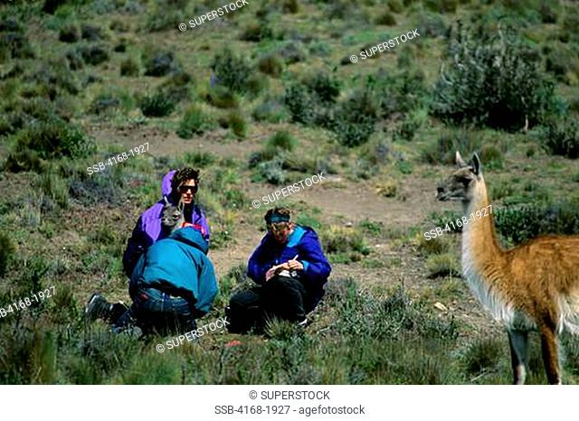 CHILE, TORRES DEL PAINE NAT'L PARK, GUANACOS, NEWBORN BEING TAGGED BY SCIENTISTS FROM U.IOWA