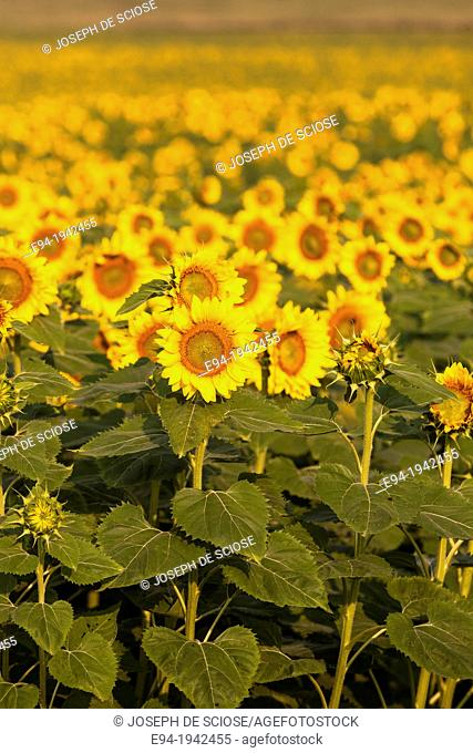 A large field of sunflowers in Kentucky