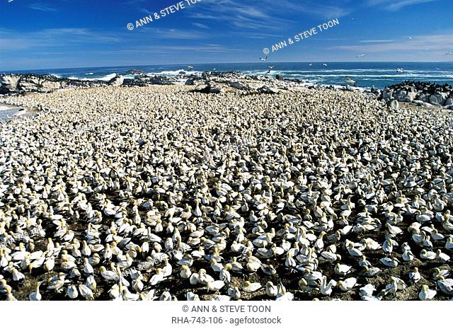 Cape gannet, Sula capensis, colony, Lambert's Bay, Western Cape, South Africa, Africa