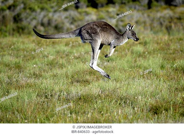 Eastern Grey Kangaroo (Macropus giganteus), bounding adult, Australia