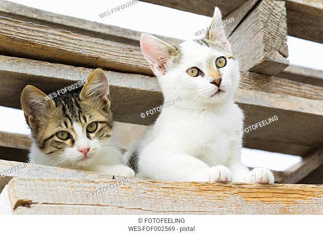Europe, Greece, Cyclades, Santorini, Cat watching through wood