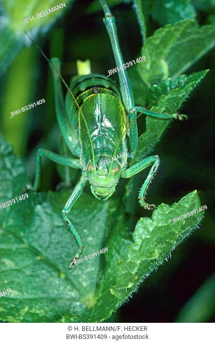 Large saw tailed bush cricket, Large saw-tailed bush-cricket (Polysarcus denticauda, Orphania denticauda), on a leaf, Germany
