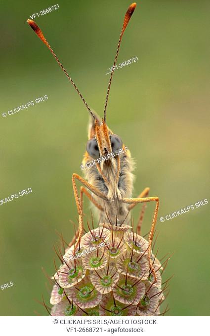 Melitaea phoebe, butterfly, Vobbia, Genoa, Italy