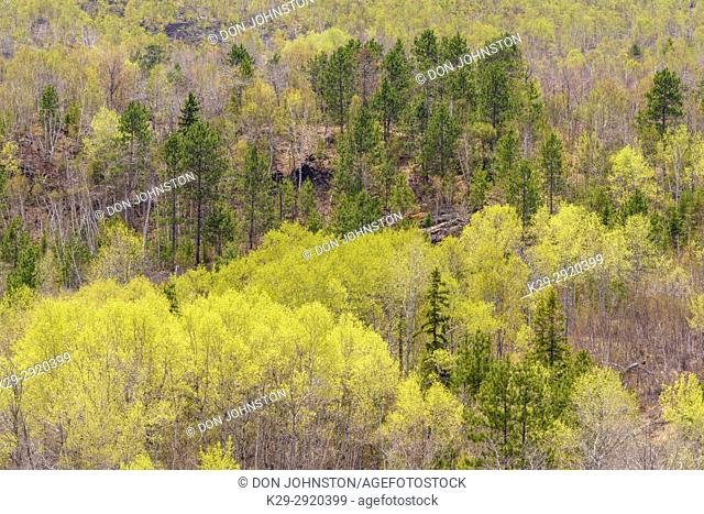 Emerging spring foliage in a mixed birch, aspen and pine forest, Greater Sudbury, Ontario, Canada