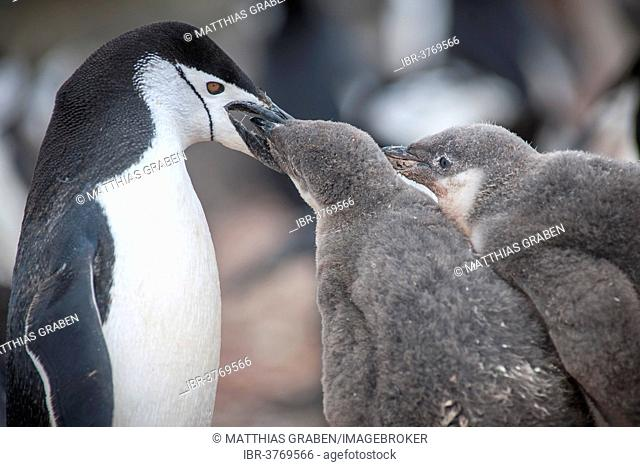 Chinstrap Penguin (Pygoscelis antarcticus) feeding a chick, Hannah Point, Livingston Iceland, Antarctica