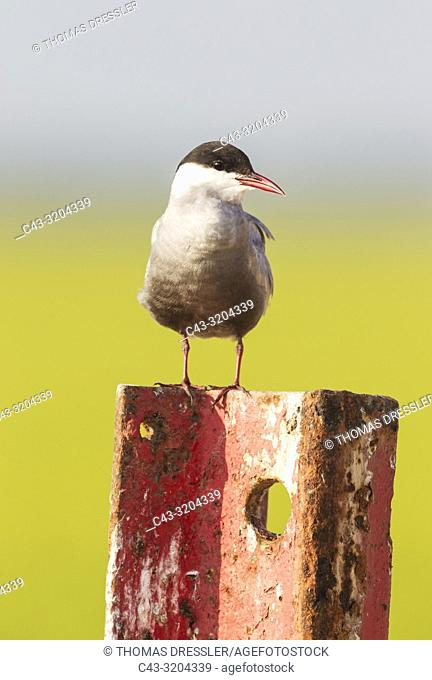 Whiskered Tern (Chlidonias hybrida). Perching on a rusty piece of metal at a broken gate. Environs of the Ebro Delta Nature Reserve, Tarragona province